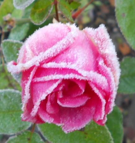 Rose Zéphirine 'Drouhin'