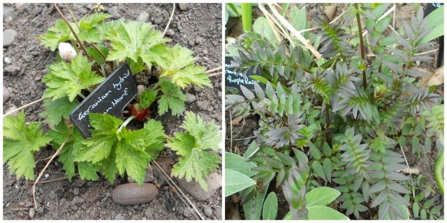 geranium.polemonium