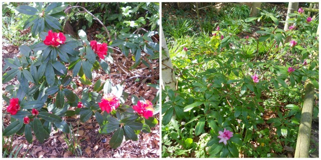 rhododendrons2