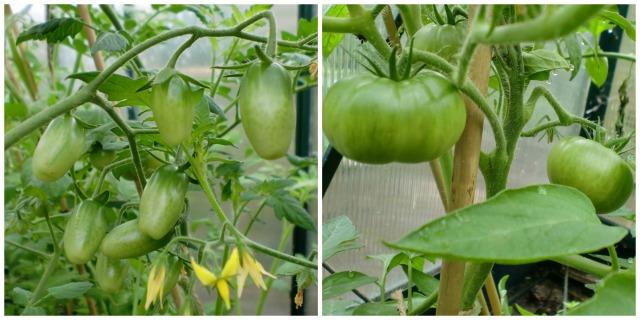 tomato.1