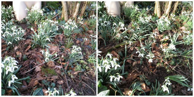 before and after splitting snowdrop clumps