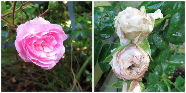 May.roses