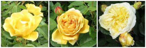 yellow.roses