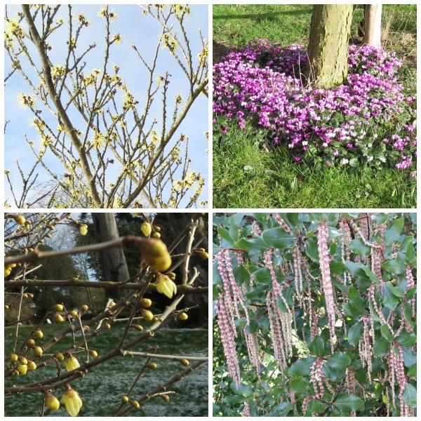 Hodsock.blooms