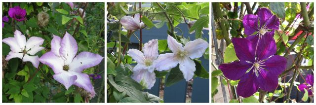 clematis.July15