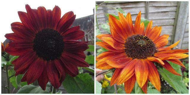 sunflowers.July15