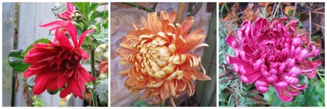 Nov15.chrysanths