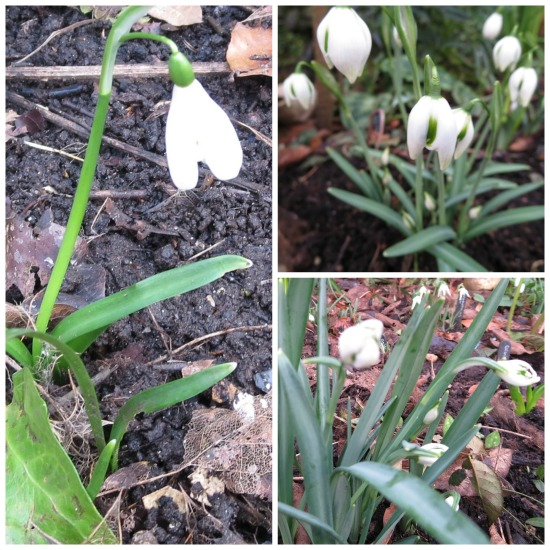 different.snowdrops