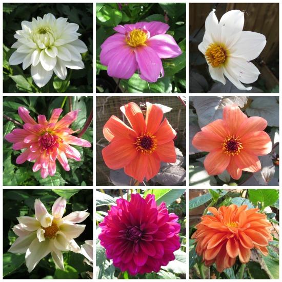 bloomingdahlias