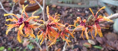 Hamamelis 'Orange Peel'