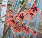 Hamamelis 'Magic Fire'