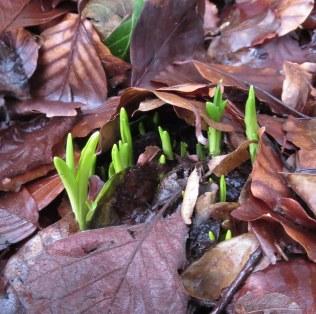 bluebells in the woodlamd