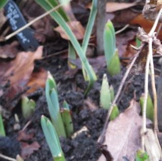 allium or tulips?