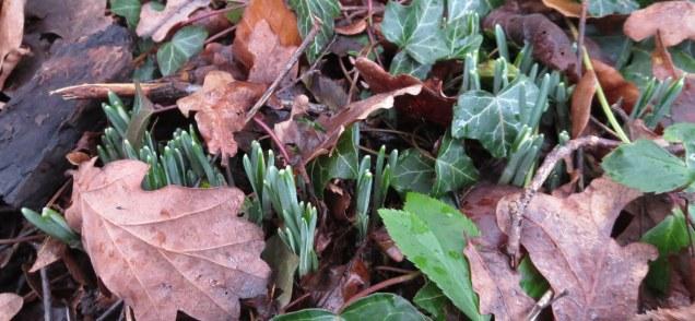 common snowdrops in the woodland edge border