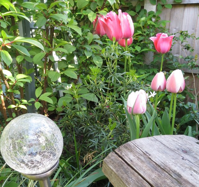 Tulips 'Ollioules' (little) and 'Design '(large)