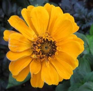 from Zinnia 'Summer Bouquet' mix