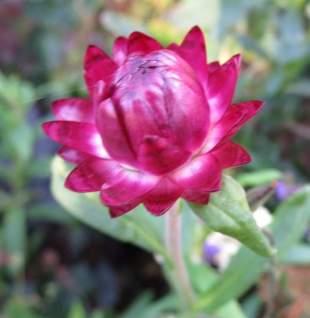 Helichrysum 'Bright Rose'