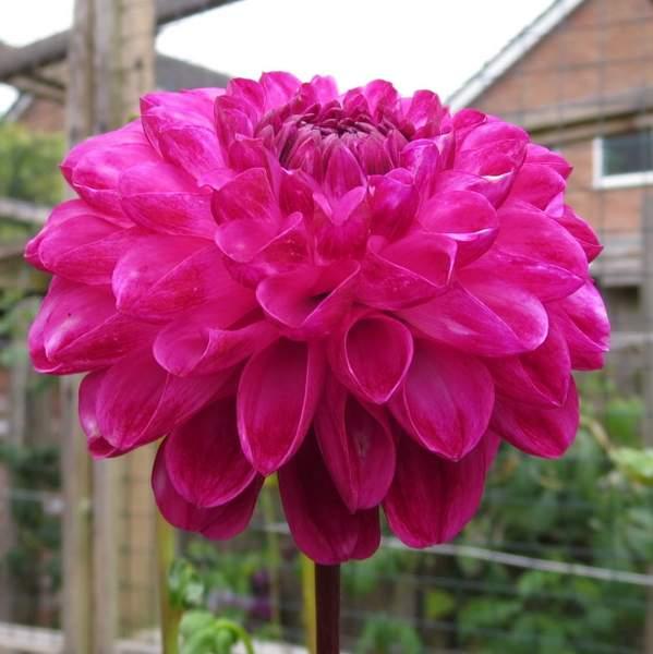 Dahlia 'Dorothy Rose'